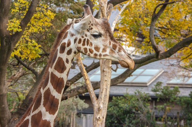 Natural lovely tall giraffe in green outdoor park. Premium Photo