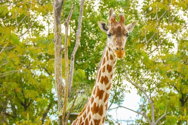 Natural lovely tall giraffe in green outdoor park. Premium Photo