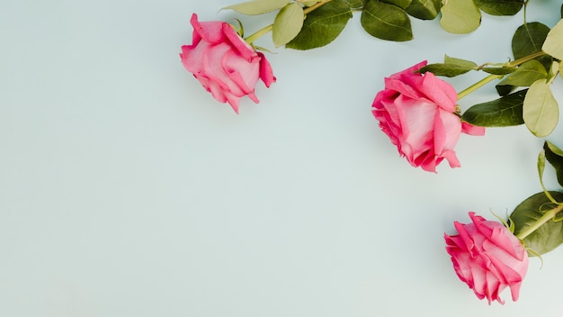 Natural pink roses with copy space Free Photo