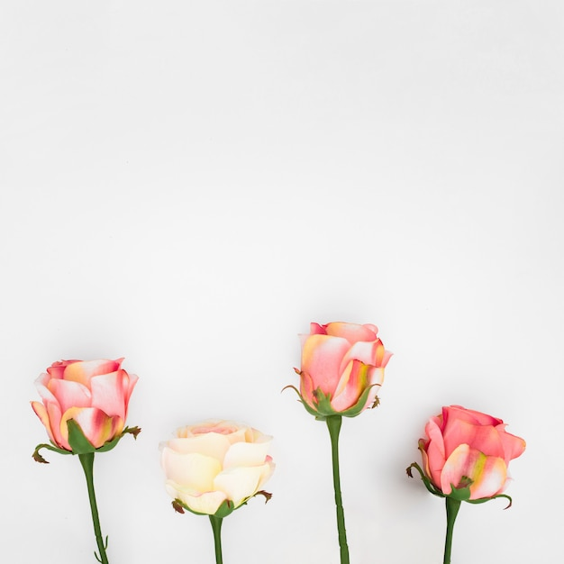 Natural roses on a white  with copyspace Free Photo