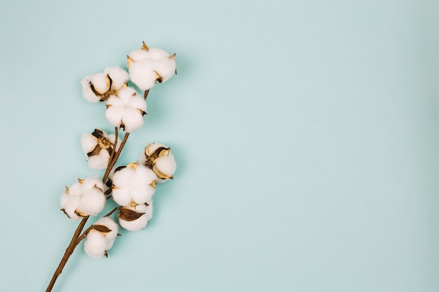 Natural stem of cotton flowers against colored background Free Photo