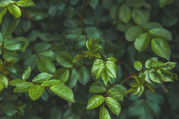 Premium Photo Natural Texture Of Rose Leaves In A Dark Background Trend Tinted Plants