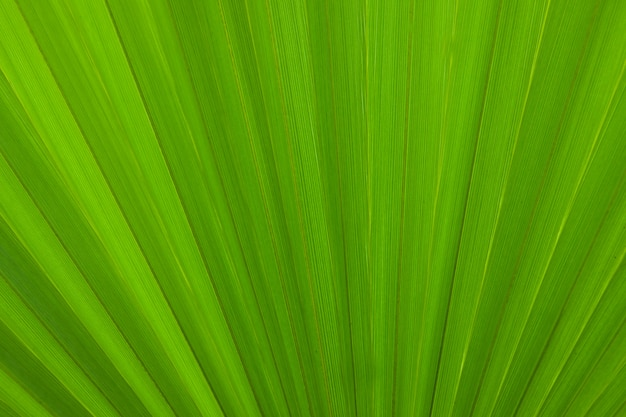 Nature background, green palm leaf texture Premium Photo