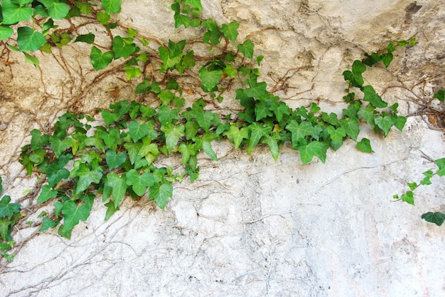 Nature background with ivy leaves Premium Photo