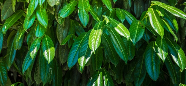 Nature concept with cherry laurel Premium Photo