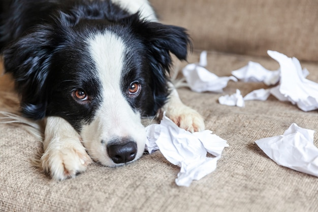Naughty border collie after mischief biting toilet paper lying on couch at home Premium Photo