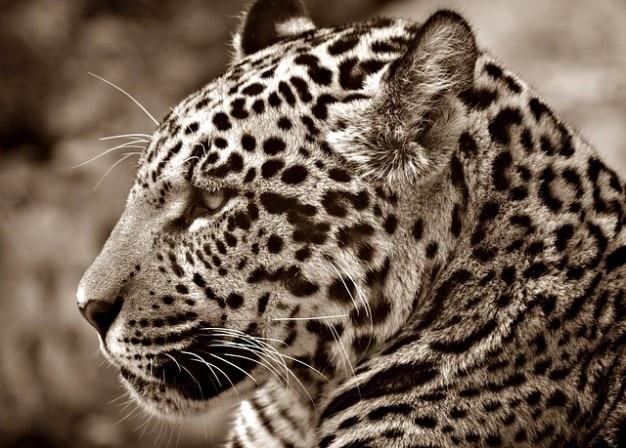 cat profile halbwchsig sepia jaguar head photo free download. Black Bedroom Furniture Sets. Home Design Ideas