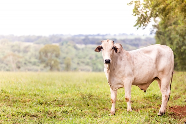 Нелоре на пастбище фермы Premium Фотографии