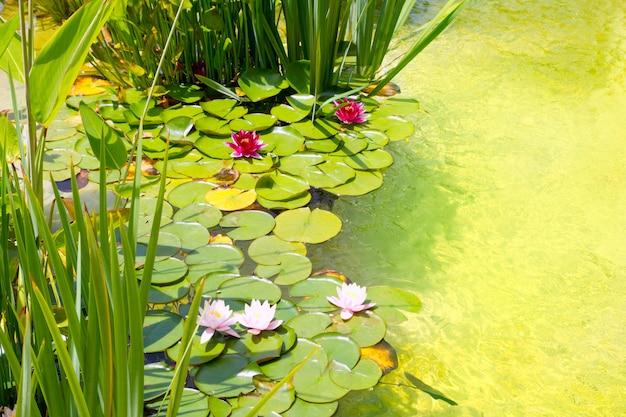 Nenufar water lilies on green water pond Premium Photo