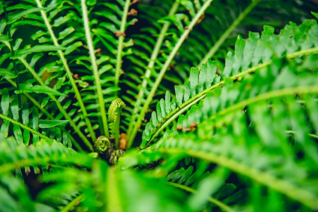 緑のシダ熱帯雨林の背景概念nephrolepis exaltata Premium写真