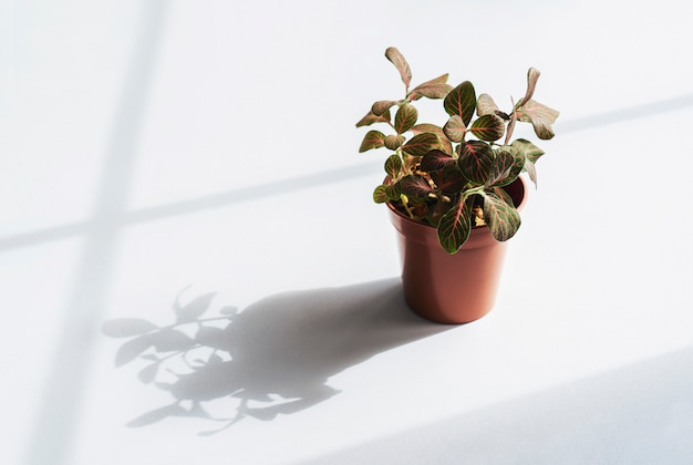 Nerve fittonia verschaffeltii on pot, planthigh key light of pink fittonia nerve plant in brown pot. Premium Photo