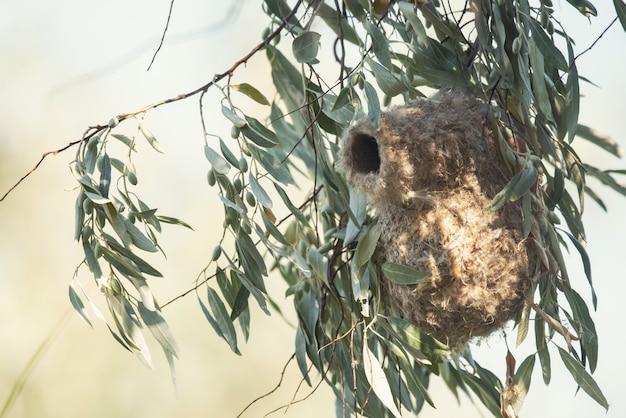 Гнездо маятниковой синицы, remiz pendulinus Premium Фотографии