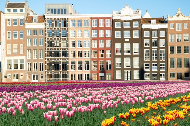 Netherlands tulips and facades of old houses in amsterdam, netherlands. Premium Photo