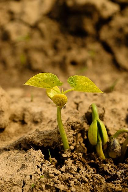 乾燥土壌でのインゲンマメの新生活。浅い被写界深度。 Premium写真