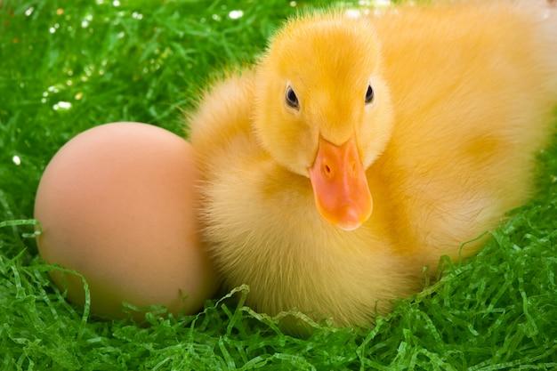 Newborn duckling sitting in the nest Premium Photo