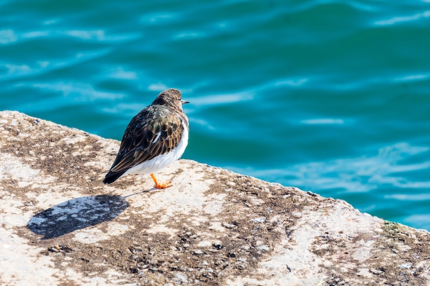 Nice bird (seagull) looking at the sea. ruddy turnstone (arenaria interpres, turnstone). Premium Photo