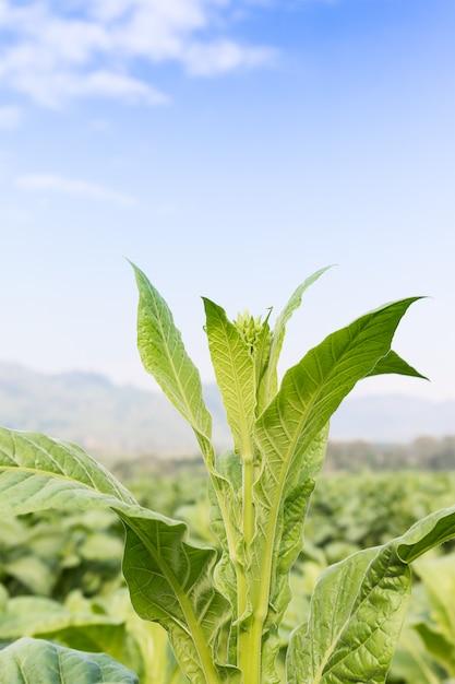 Nicotiana tabacum травянистое растение Premium Фотографии