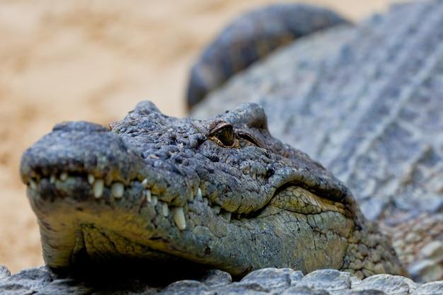 A nile crocodile, crocodylus niloticus Premium Photo