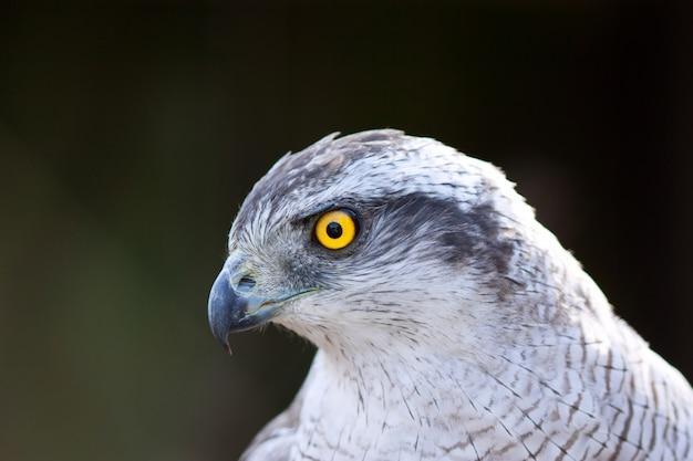 Hawk goshawkを閉じなさい 無料写真