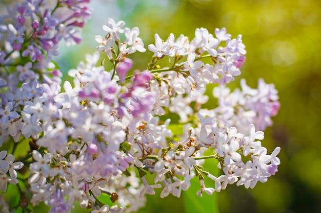 背景のボケ味を持つ開花ライラック Premium写真