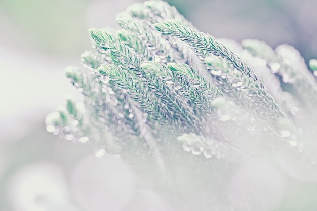 Norfolk island pine leaf after rain with droplets Premium Photo