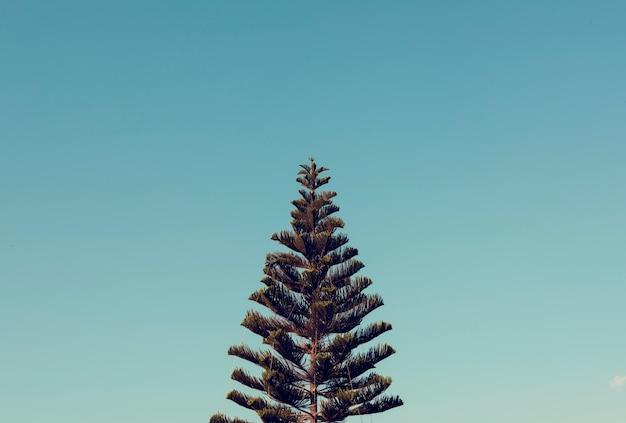 Norfolk island pine tree with sky view Free Photo