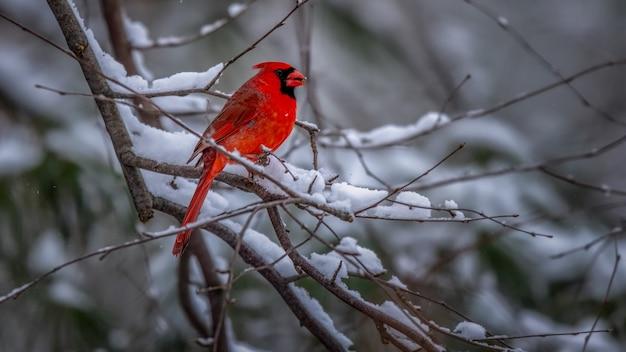 눈 덮인 나무에 북부 추기경 조류 무료 사진