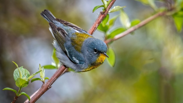 Птица северная парула в ветке Бесплатные Фотографии