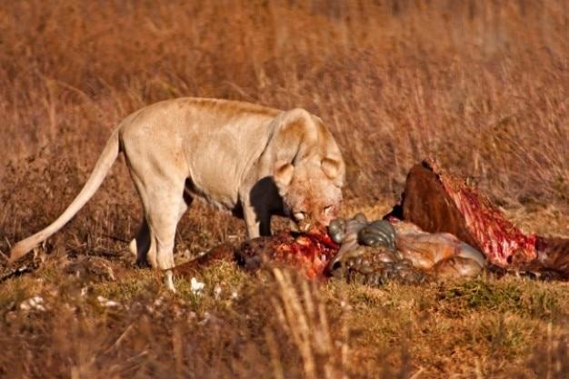 ライオンの餌食nsfw 無料写真