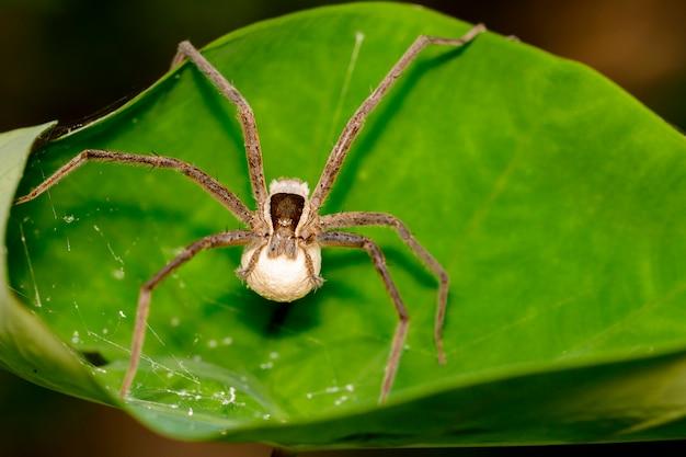 Изображение четыре-пятнистых nursery web spider и яйца паука на зеленом листе Premium Фотографии