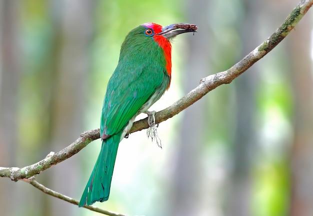 赤ひげを生やしたハチクイnyctyornis amictusタイの美しい鳥の虫食い Premium写真