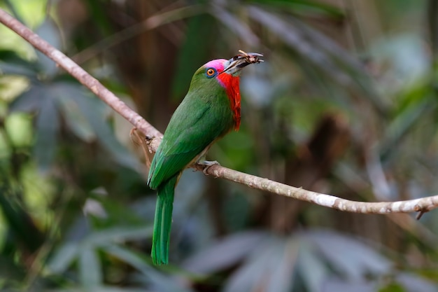 赤いひげのビーイターnyctyornis amictusタイの美しい鳥 Premium写真