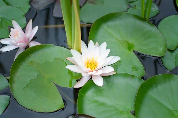 川のスイレンnymphaea tetragona Premium写真