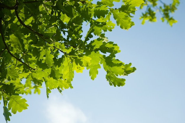Oak leaves, brightly backlit against  sky Free Photo