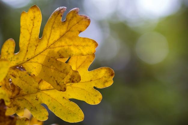 オークの木の葉の背景の秋の森 Premium写真