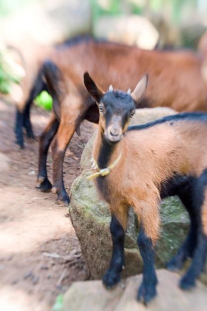 Oberheisling goats Premium写真