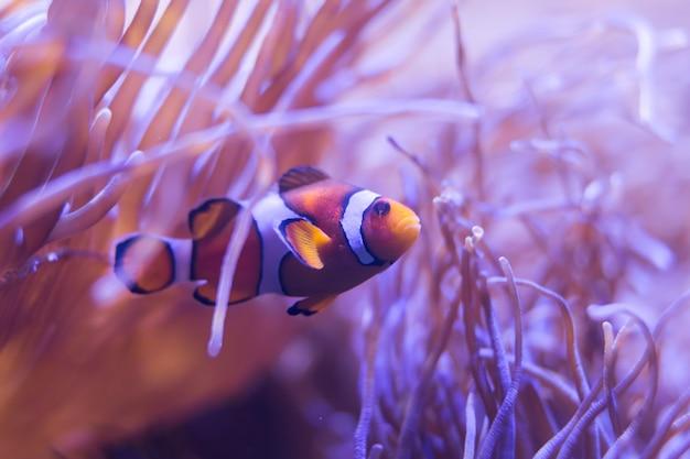 Ocellaris clownfish, clown anemonefish, clownfish, false percula clownfish Premium Photo