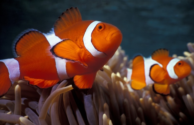Ocellaris clownfishes among coral reefs Free Photo