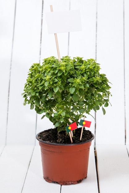 Ocimum minimum plant Premium Photo