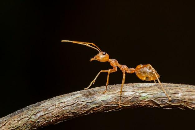 枝に赤アリ(oecophylla smaragdina)の画像。昆虫。動物。 Premium写真