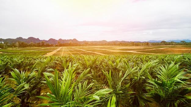 Oil palm plantation, oil palm seeding Premium Photo