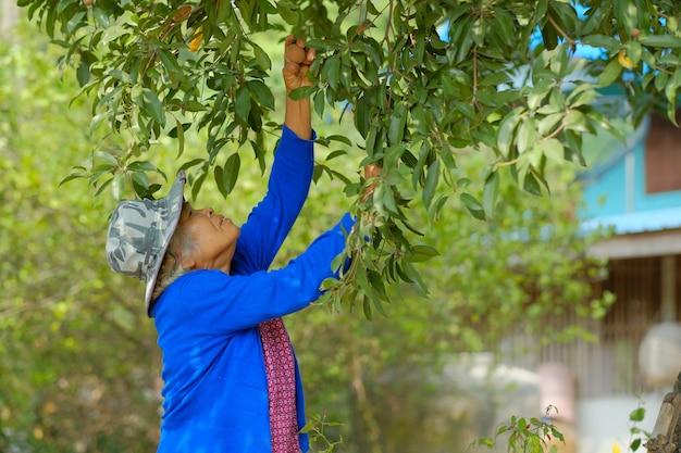Old farmer harvesting fruit in a farm Premium Photo