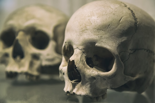 Old human skulls close up Premium Photo
