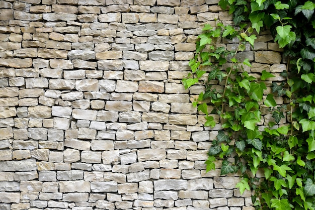 Old stone wall with ivy as background Premium Photo