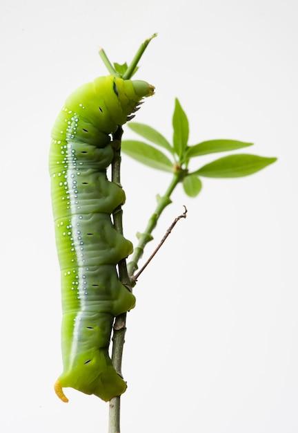 Гусеница моли олеандра hawk (daphnis nerii, sphingidae), подъем на завод, изолированный на белой предпосылке. Premium Фотографии
