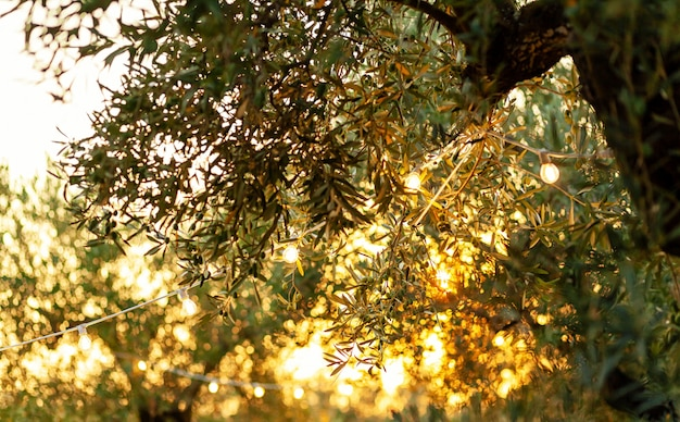 Olive branch with vintage bulbs at sunset. Premium Photo
