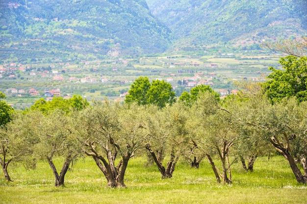 Olive plantation in greece Premium Photo