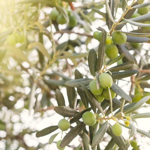 Olive tree branch Free Photo