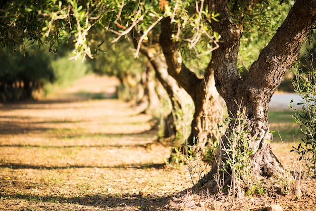 Olive trees  on blurred background. olive trees on a grove in salento, puglia, italy Premium Photo