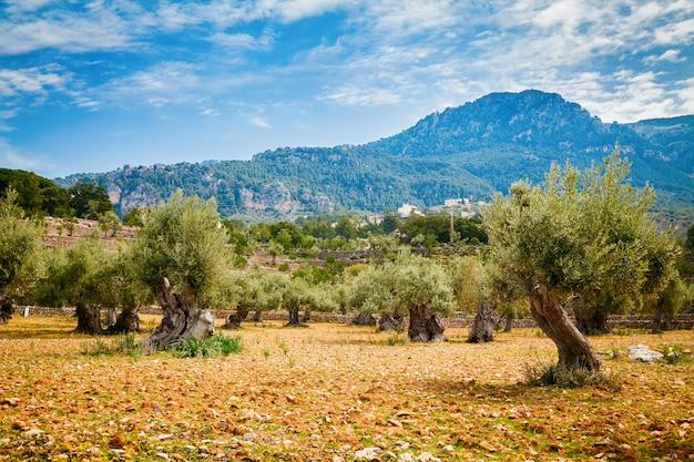Olive trees valley in mallorca Premium Photo